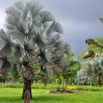 Bismarck Palm (Bismarckia nobilis)