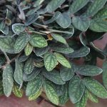 Watermelon Pellionia (Pellionia pulchra)